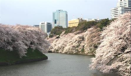 與日本櫻花浪漫邂逅