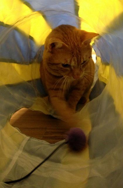 小虎在貓隧道裡玩球