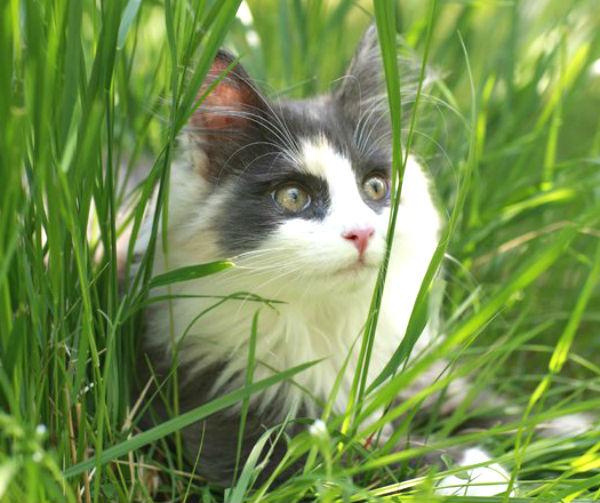 Norwegian Forest Cat 2.jpg