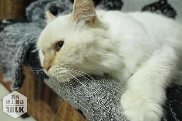領養成貓3.jpg