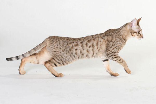 TICA國際貓展-熱帶草原貓2