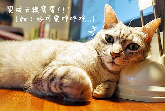 貓の報恩!日本人教你如何利用貓鬍鬚帶來好運!