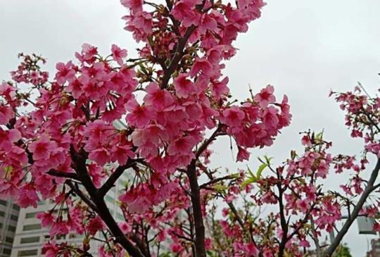 【台北賞櫻推薦】用500元到「東湖樂活公園內溝溪」看櫻花、吃美食