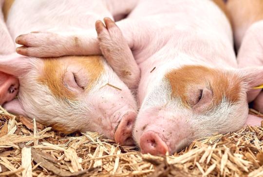 【豬瘟危機】想從日本帶寵物食品、寵物零食回台灣可以嗎?