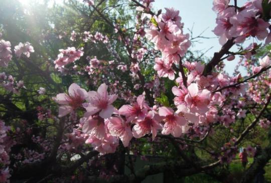 【台灣】三月紅花多吸睛,隨著「粉紅佳人」中台灣櫻花秘境走透透