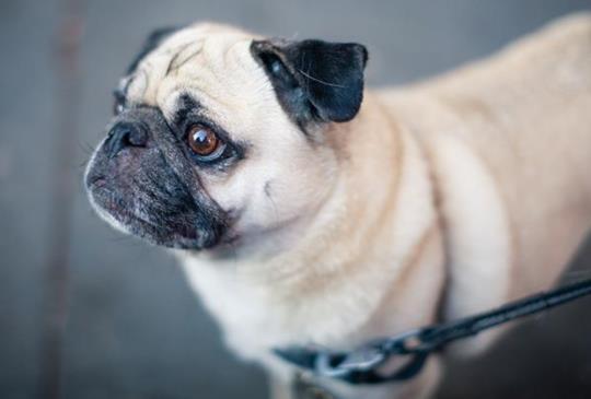 獸醫教你:狗狗胖瘦應該怎麼看?