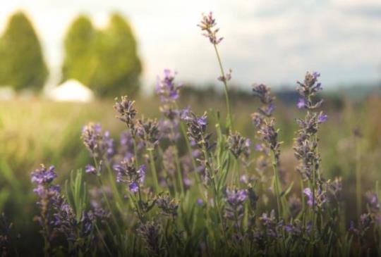 【賞花最前線】藍紫色迷幻爆棚倒數 花漾薰衣草X粉蝶花魅力出擊