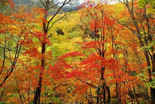 追逐日本第一道楓紅,北海道【層雲峽】紅葉觀賞指南