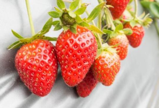 苗栗。大湖公主草莓園,鮮嫩欲滴草莓盡情採!(教你採草莓、何時最適合去、如何洗草莓最乾淨)