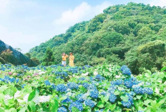 【初夏限定!萬朵綻放「全台10處繡球花海」藍紫色迷幻仙境,現在去開得正美!】