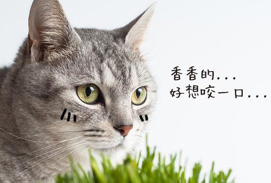 為何貓咪都無法抗拒貓草?貓奴不得不知的貓草知識+