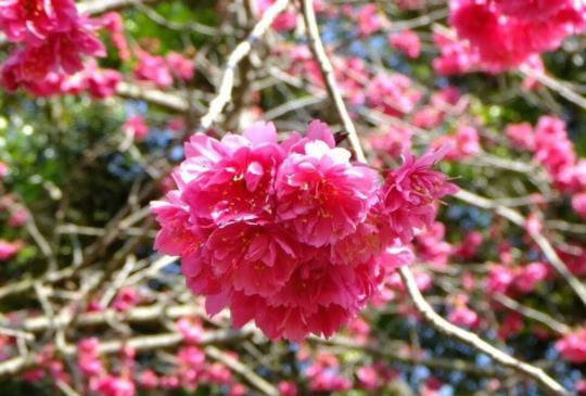 【夜賞櫻花!在櫻花樹下茶會野餐 感受浪漫風情】