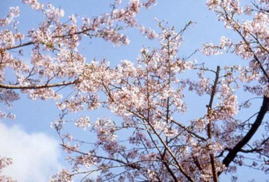 【達人來帶路:15個阿里山賞櫻最熱門景點】