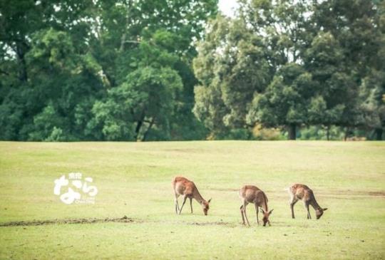 【奈良公園餵鹿】此處是鹿宅 請留買路財