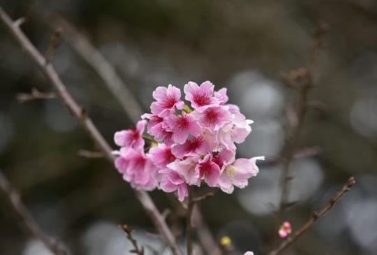 中正紀念堂的櫻花開了,可是…………….