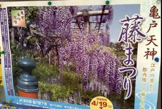 擋不住的紫色浪漫~東京「龜戶天神社」紫藤花祭