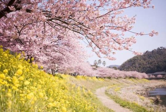 【速報】日本全國櫻花花開期預測