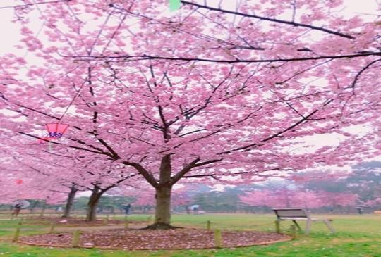 【日本】賞櫻秘境, 讓你掉到夢幻般的櫻花海