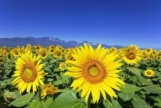 【夏日限定絕景~讓人有滿滿戀愛感的日本夏日風物詩】