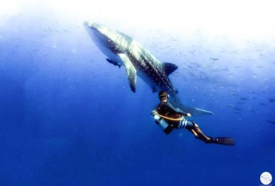 與鯨鯊同行 你從未見過的沖繩海底美景