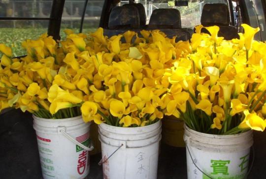 """【金黃色花朵當道!5月不可錯過的賞花""""黃金景點""""~】"""