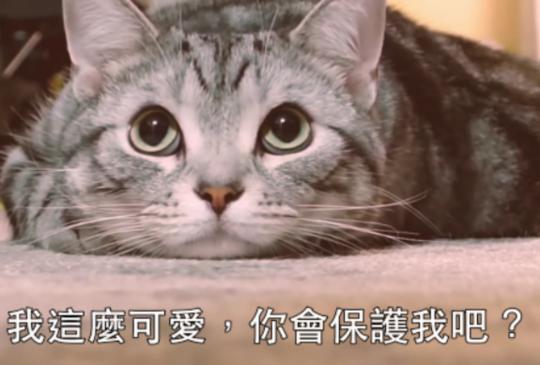 【揪甘心廣告】日汽車大廠拍影片愛貓貓:敲敲代表我的愛!