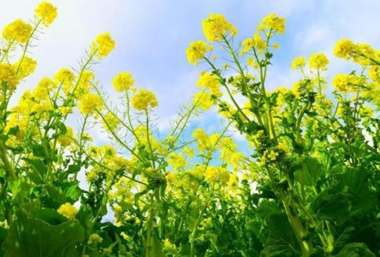 【油菜花與雪白富士山互相爭豔,把握花季時間一睹美麗丰采】