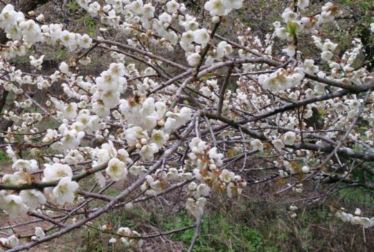 【南投】省道21號公路秘境:歲末初春賞梅看花吃美食