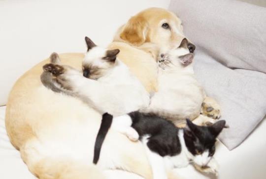 尺寸不是問題!黃金獵犬橙醬與小小貓咪的溫馨生活