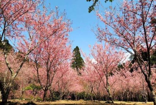【賞花仙境在此!牡丹花、櫻花、鬱金香同時盛開】