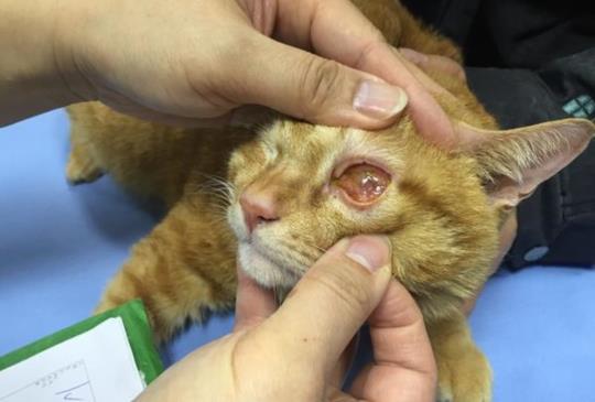 【寵物診療室】貓咪眼睛紅紅 第一件要做的事不是看醫生!請先....