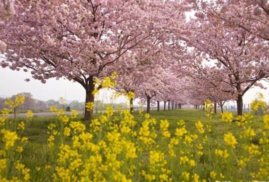 【看春櫻與油菜花合演的春日絕景! 精選5幅浪漫粉紅與鮮明亮黃交織而成美麗畫卷】