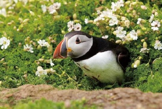 【冰島】韋斯特曼納群島 超萌療癒系海上小丑