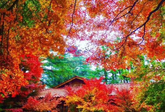 【台中】福壽山楓葉秘境,不用出國也能看見整片楓紅的小確幸