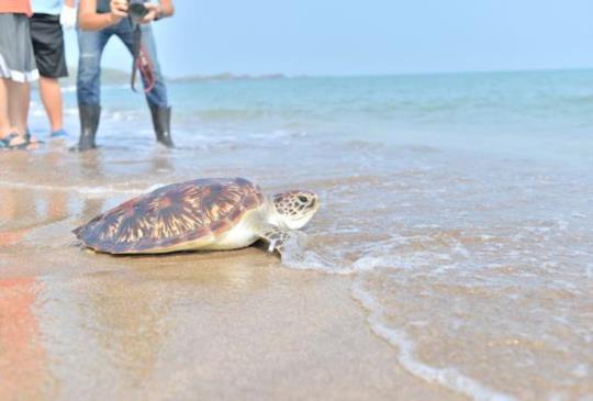 差點小命不保,海龜再度奔向自由!愛護海洋你我做起