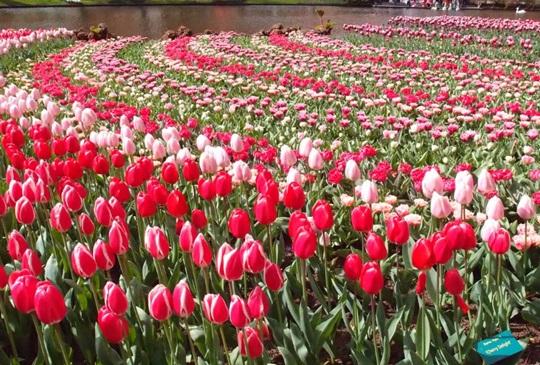 春天浪漫限定:遇見五彩繽紛的荷蘭庫肯霍夫花園