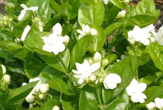 【春之花訊】花壇茉莉花的故鄉-採花飄香一甲子