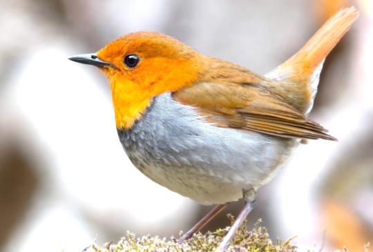 撿到鳥兒怎麼辦?第一要務:不要任意餵食!