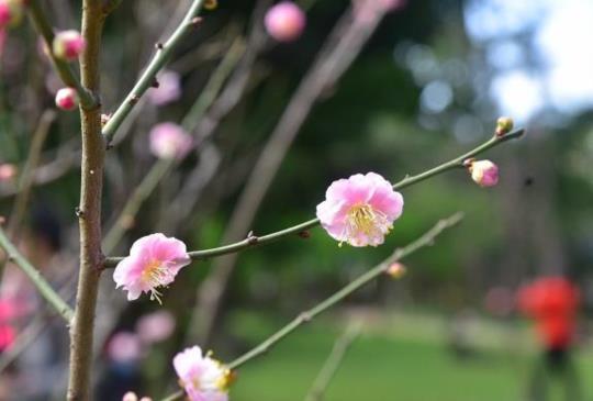 中正紀念堂的櫻花&梅花開了