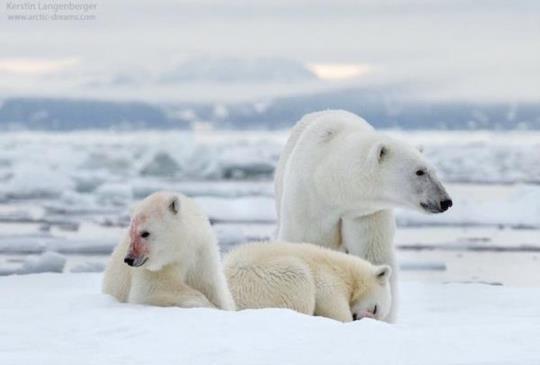 一張照片拍出了攝影師的心聲,也看出北極現今問題。骨瘦如材的北極熊需要我們來重視!