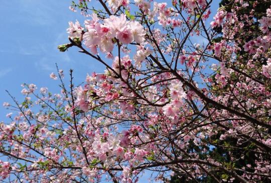 看櫻花免出國搭捷運就可到【台北】近郊著名賞櫻景區