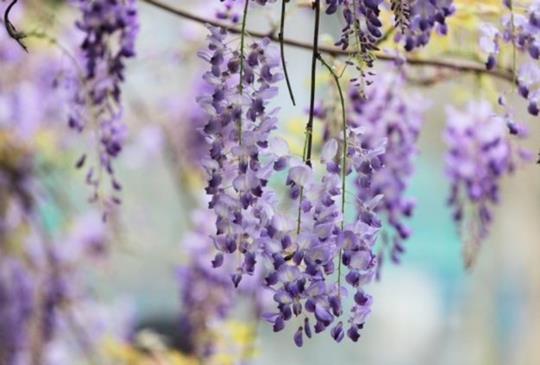 【日本紫藤花景點推薦】殺光底片!超美紫藤花景點大公開