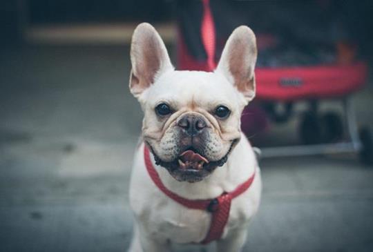 適合肥胖、糖尿病、心血管問題狗狗的低GI食材建議