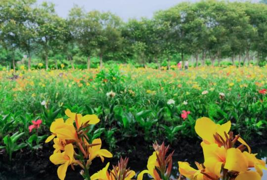 【庫肯霍夫在頭社】魚池鄉的花卉農村之旅