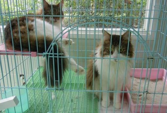 棄貓女子終於投案,動保處依法開罰3萬,四隻貓咪開放認養