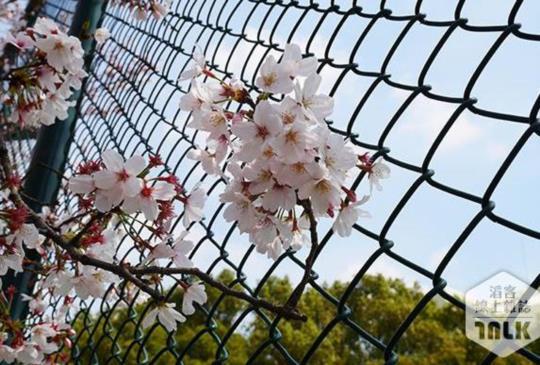 春天賞櫻來【上海】4大美麗景點報你知!