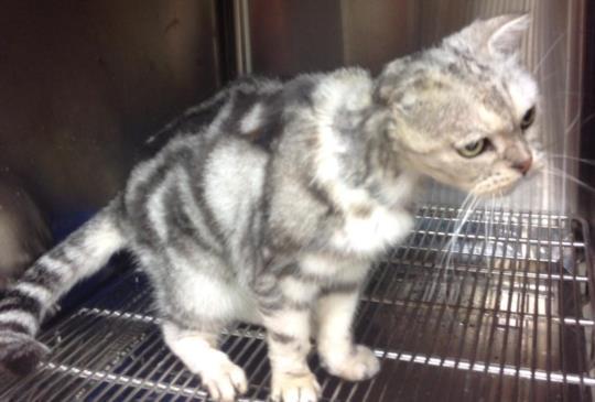 【棄養不光是全民買單】美國短毛貓好發耳朵惡性腫瘤 被不負責主人拋棄