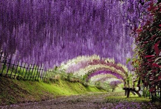 【此生必看的夢幻絕景,一年只開30天的紫藤花瀑布】