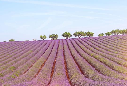 【法國】夏日限定  專屬普羅旺斯的紫色盛宴