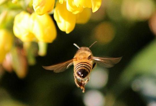 【沒有蜜蜂就沒有蘋果,請好好保護大自然給予的…】